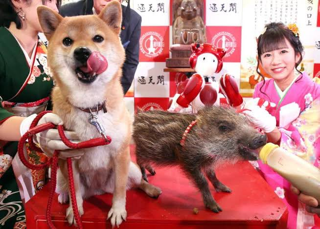 宠物搞笑 新年 狗狗 小猪 宠物 猪年 狗年 ebzasia.com