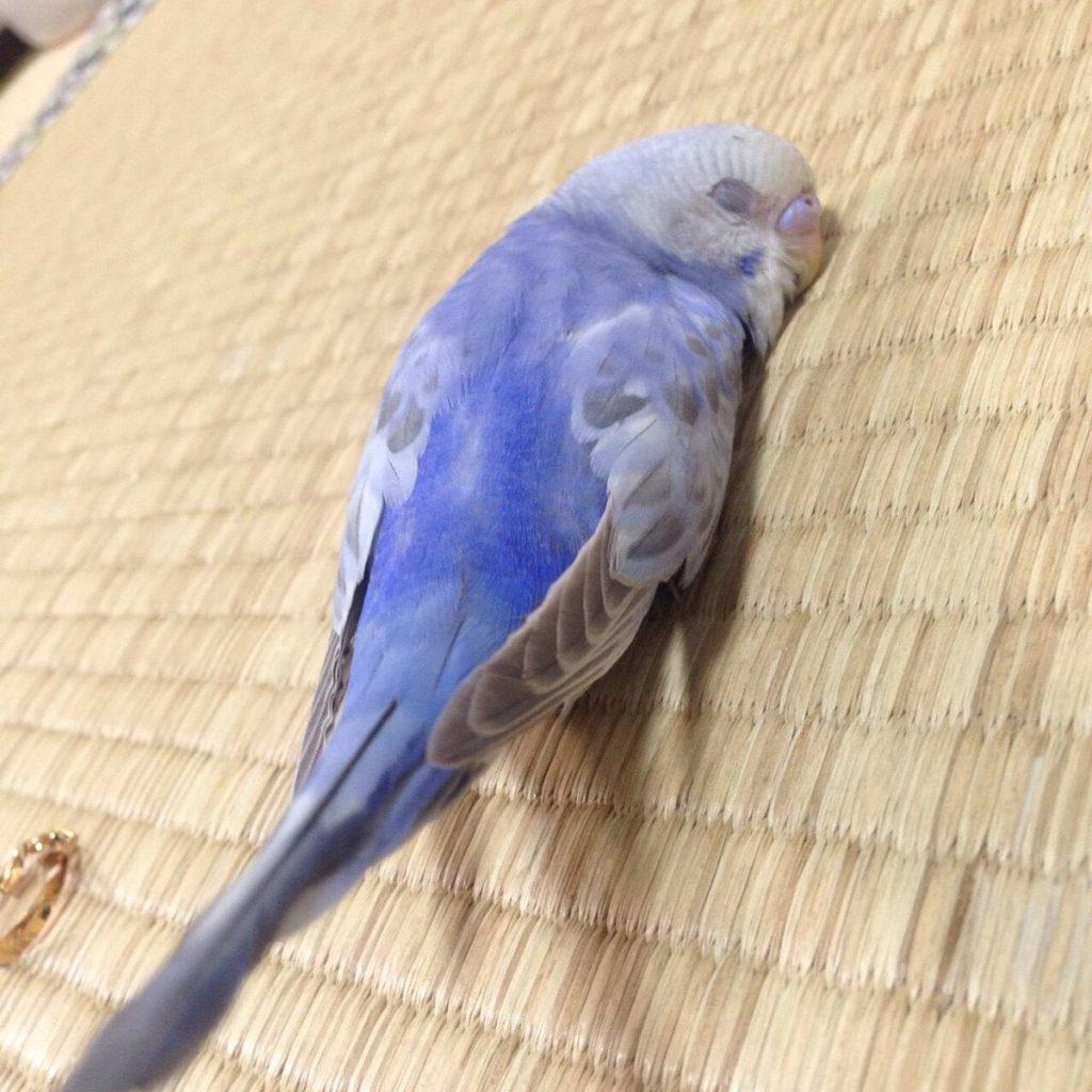 宠物搞笑 鹦鹉睡觉丑样 ebzasia.com