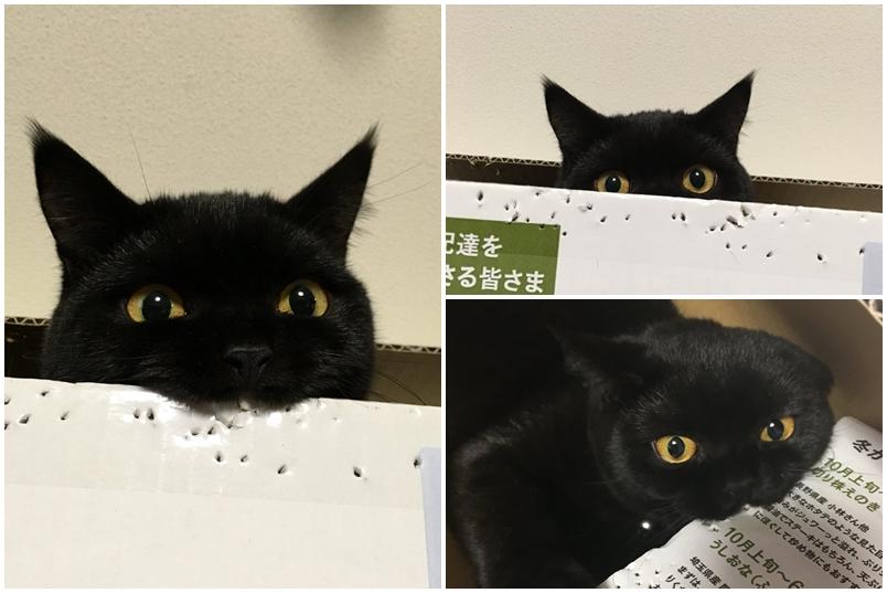 宠物可爱 日本超可爱小黑喵 咬纸箱 黑猫 躲猫猫 ebzasia.com