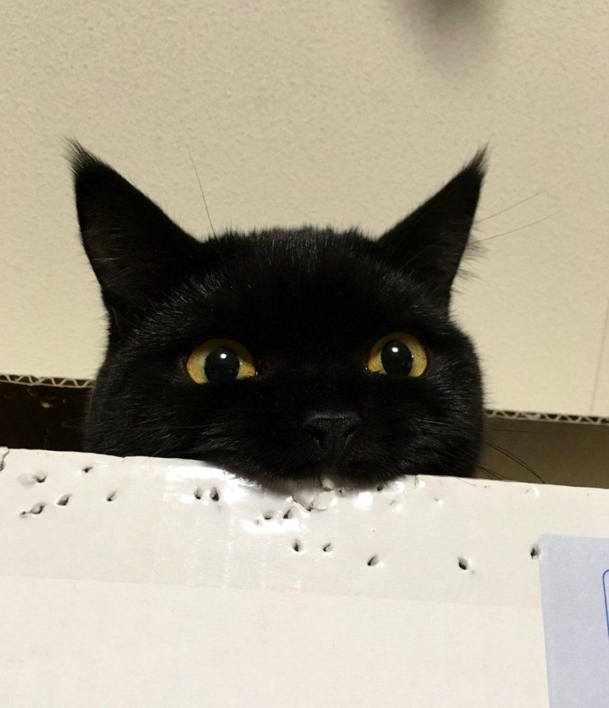 宠物可爱 日本超可爱小黑喵 咬纸箱  ebzasia.com