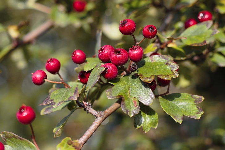 hawthorn-bush-berries-organicasap